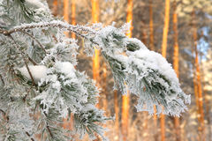 Twig of pine hoarfrost covered Stock Photo