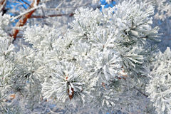 Twig of pine snow covered Stock Image
