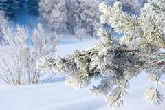 Twig of pine snow covered Stock Photography