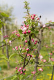 Twig with pink apple blossoms. Pink apple blossoms on a meadow Royalty Free Stock Photography
