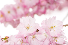Twig with pink cherry blossoms Stock Photo