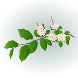 Twig  pink Lilac vector Royalty Free Stock Images