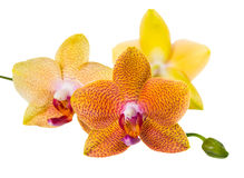 Twig of pointed orange orchid is isolated on white background, c Stock Image