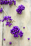 Twig of a purple berries plant Royalty Free Stock Photo