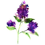 Twig purple lilac, spring flower, Syringa vulgaris, isolated, watercolor illustration Stock Photos