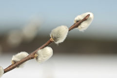 Pussy willow twig Stock Photo