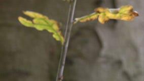 Twig rack focus. Twig with 2 leaves rack focus stock video