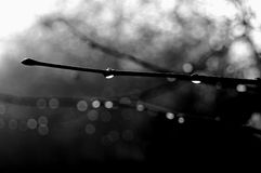 Twig with rain drops. Naked twig with rain drops in black&white Stock Images