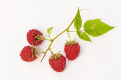 Twig of raspberry Royalty Free Stock Photography