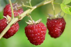 Twig of raspberry Royalty Free Stock Photo