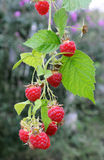 Twig of raspberry. With ripe berries Stock Photography