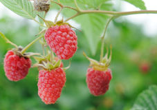 Twig of raspberry Royalty Free Stock Images