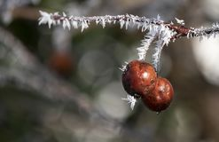 Twig with red berries and rime ice needles royalty free stock photos