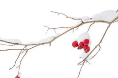 Twig with red berries in winter Royalty Free Stock Photos