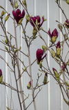 Twig with red bloom and leaves of magnolia tree at springtime in garden, Sofia Stock Image