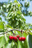 Twig with red cherries Royalty Free Stock Photo