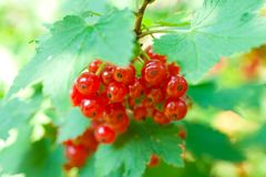 Twig of red currant Stock Images