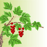 Twig with red currant  vector Royalty Free Stock Images