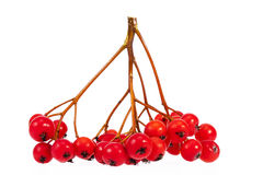 Twig with red fruits of rowan berry isolated on white background Royalty Free Stock Photo