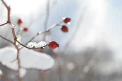 Twig with Red Hip in Frost – Detail. Close up detail of brightly lit twig with red dog-rose covered with ice crystals Stock Images