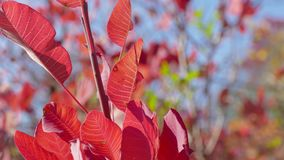 Twig with red leaves in sunlight stock video