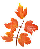 Twig with red maple leaves Royalty Free Stock Photo