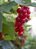 Twig redcurrant Stock Photo