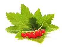 Twig of redcurrant on the green currant leaf Royalty Free Stock Photography