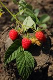 Twig with ripe raspberries Royalty Free Stock Photo
