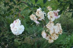 Fading blooms of rose. Twig of rose bush with fading blossoms in autumn stock image