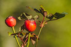 A twig of rose hips. A twig with rose hips on green background stock photography