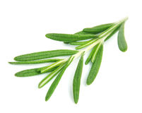 Twig of rosemary Royalty Free Stock Photography