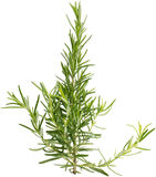 Twig of rosemary Royalty Free Stock Images