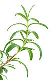 Twig of rosemary Royalty Free Stock Image