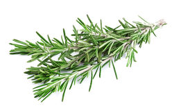 Twig of rosemary . Royalty Free Stock Image
