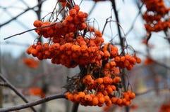 The twig of the Rowan. Orange berries. royalty free stock photo