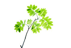 Twig-of-rowan-tree-with-translucent-young-leaves-isolated-on-white Royalty Free Stock Photo