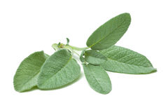 Twig of sage Stock Image