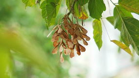 Twig of Seeds Of Maple Swaying On Breeze stock footage