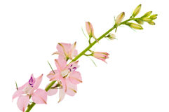 Twig with small pink flowers isolated Stock Photography