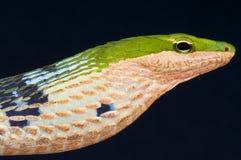Twig snake / Thelotornis kirtlandii Royalty Free Stock Images