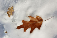 Oak leaf on the snow. Oak leaf fallen on the snow Royalty Free Stock Photography