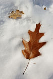 An oak leaf on snow. Twig fallen on the snow Stock Image