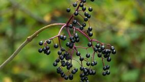 A twig with some black berry swaying in a park in autumn in slo-mo. An enigmatic view of some black berry swaying in a picturesque park in autumn in slow motion stock video footage