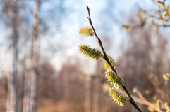 Twig with spring buds Royalty Free Stock Photo
