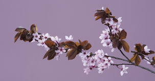 Twig of spring flowers on a pink Royalty Free Stock Images