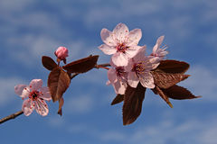 Twig of spring plum flowers. With sky in the background Stock Images