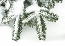 Twig of the spruce