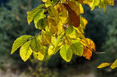 Twig with sunlit golden autumnal foliage in Vitosha mountain Royalty Free Stock Photography