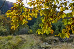 Twig with sunlit golden autumnal foliage in Vitosha mountain Stock Images